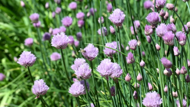 blooming chives - chive stock videos & royalty-free footage
