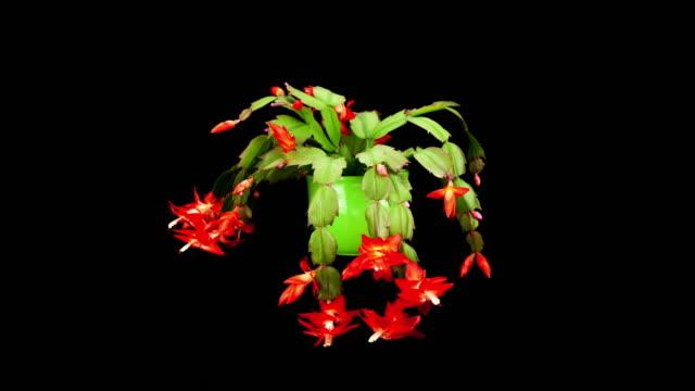 vídeos y material grabado en eventos de stock de florecer cactus de navidad - cactus de navidad