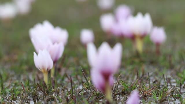blühende krokusblüten im frühling - frühling stock-videos und b-roll-filmmaterial