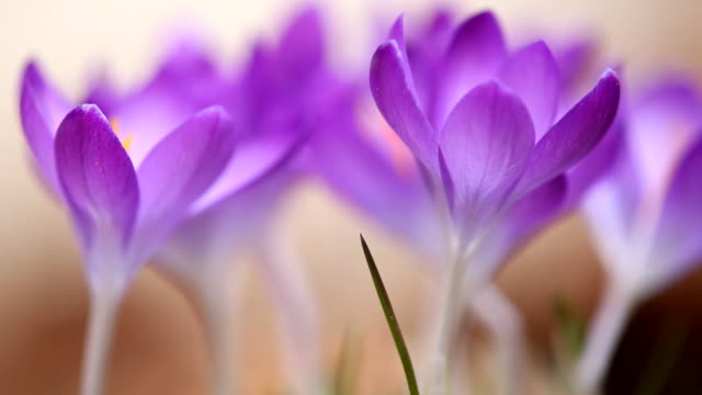 blooming crocus meadow with soft focus - soft focus stock videos & royalty-free footage