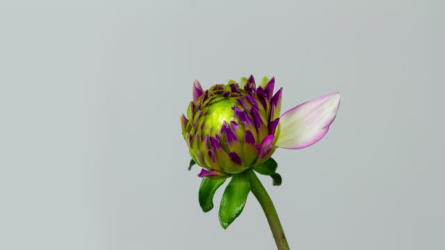 blooming dahlia - flower head stock videos & royalty-free footage