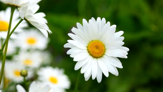 blooming daisy flower - daisy stock videos & royalty-free footage