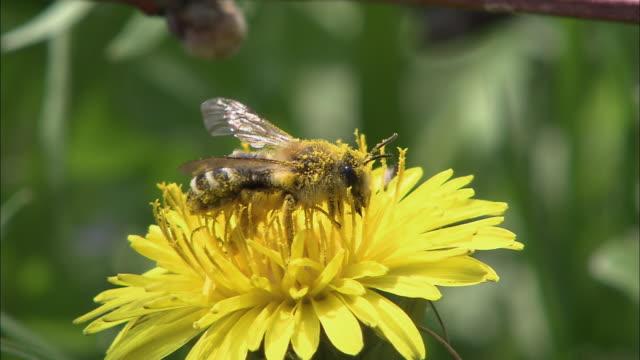 blooming dandelion - bee pollinating