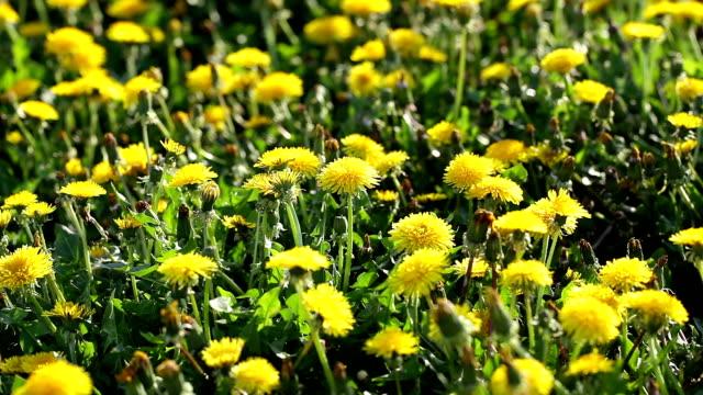 stockvideo's en b-roll-footage met blooming dandelions - west europa