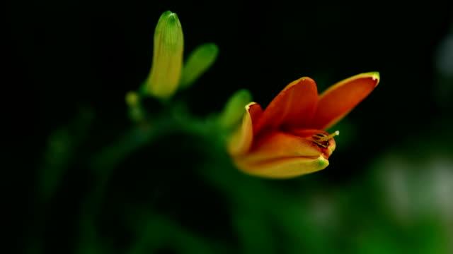 野生カンゾウの花 - ワスレナグサ点の映像素材/bロール