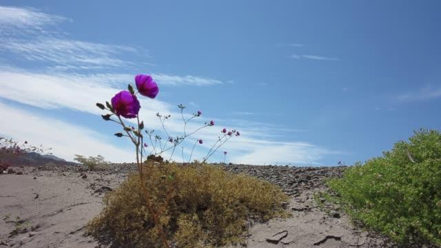 Blooming desert (Atacama, Chile)