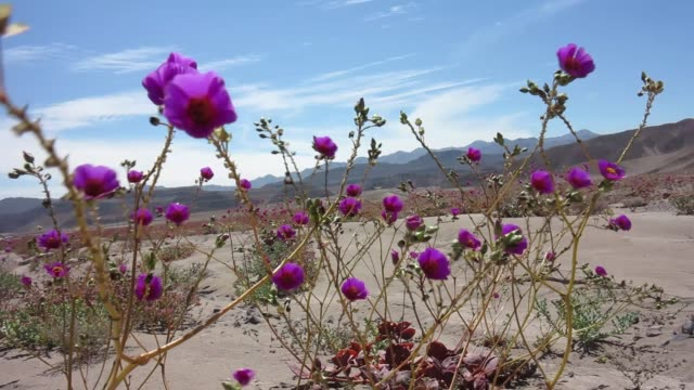 blooming desert (atacama, chile) - chile stock videos and b-roll footage