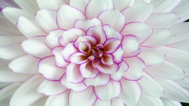 blooming elegant white dahlia closeup - botany stock videos & royalty-free footage
