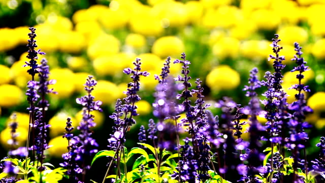 Blooming field of purple flowers and yellow flowers blurred background.