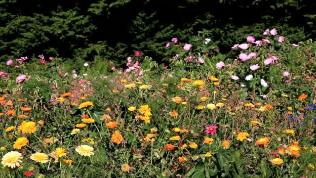 花のフィールド - ダリア点の映像素材/bロール