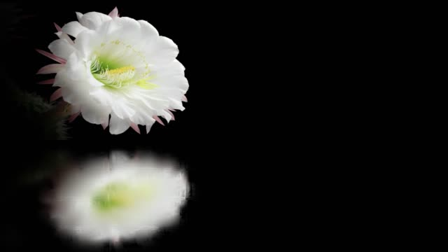 blooming flower film montage with mirror water reflection - mirror object stock videos & royalty-free footage