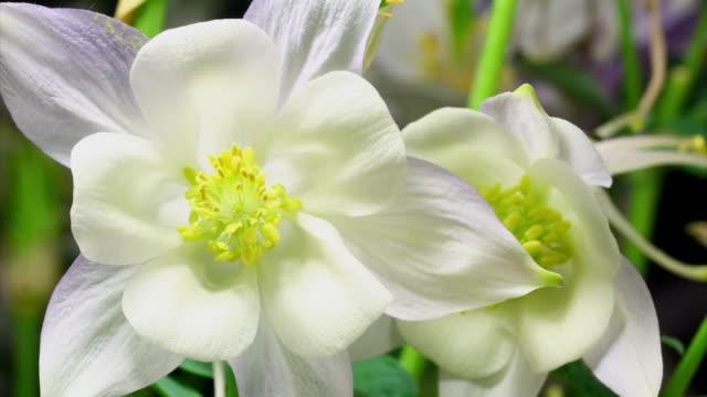 Blooming flower macro -  Columbine
