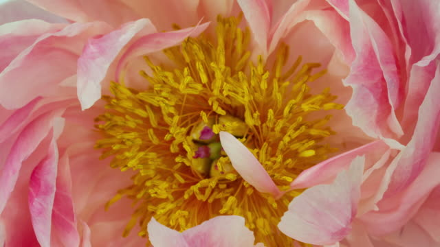 blooming flower pastel colored peony - floral pattern stock videos & royalty-free footage