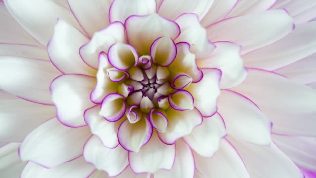blooming flower purple and white dahlia macro closeup - single flower stock videos & royalty-free footage