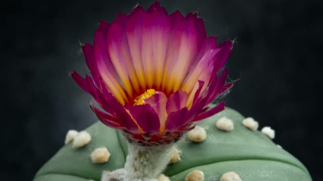 blooming flower timelapse - astrophytum asterias magenta color - bouquet stock videos & royalty-free footage