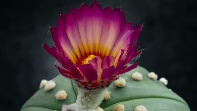 開花花のタイムラプス-ハンニャアステリアスマゼンタ色 - しおれている点の映像素材/bロール
