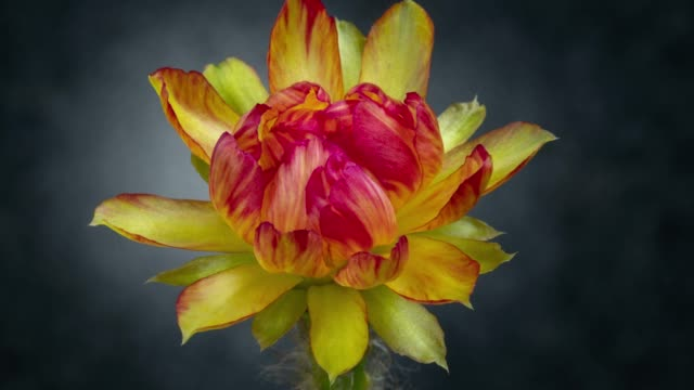 blooming flower timelapse - lobivia - cactus video stock e b–roll