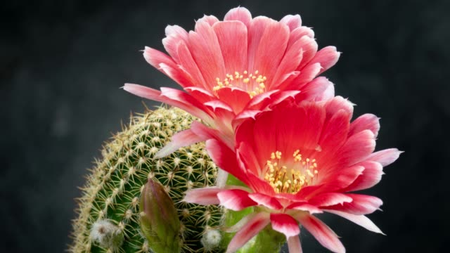 blooming flower timelapse - lobivia - flowering cactus stock videos & royalty-free footage