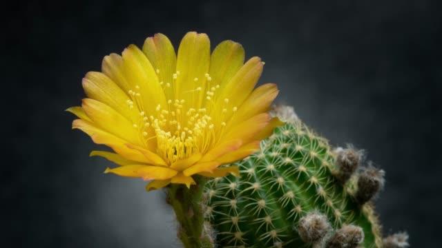 stockvideo's en b-roll-footage met bloeiende bloem timelapse-lobivia - kamerplant