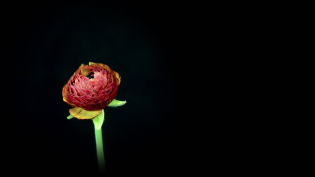 blooming flower with copy space - single object stock videos & royalty-free footage