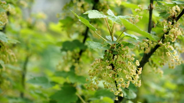 Blooming flowers of red currant in the garden in HD