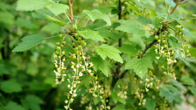 blooming flowers of red currant in the garden in hd - unripe stock videos and b-roll footage