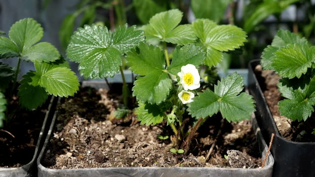 blooming flowers of strawberries in the flower pot in hd - flower pot stock videos and b-roll footage