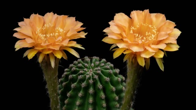 blooming flowers timelapse - echinopsis cactus carrot color - barrel cactus stock videos and b-roll footage
