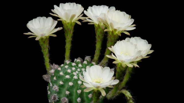blooming flowers timelapse - lobivia cactus white color - flowering cactus stock videos & royalty-free footage