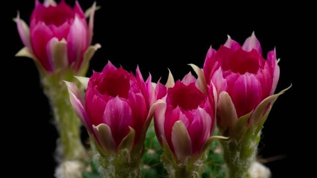 blooming flowers timelapse - lobivia hot pink color - hot pink stock videos and b-roll footage