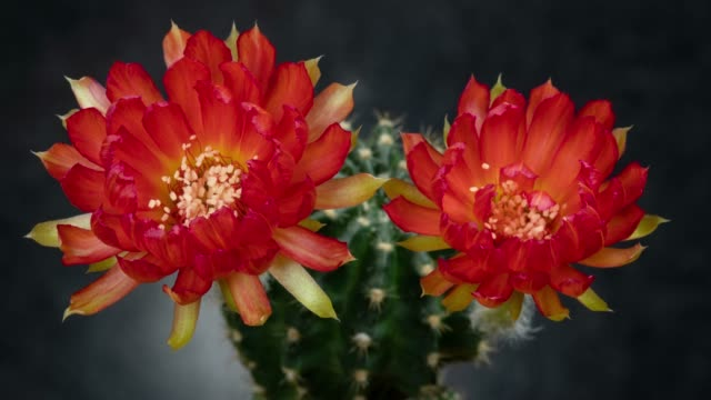 blooming flowers timelapse - red colour - cactus video stock e b–roll