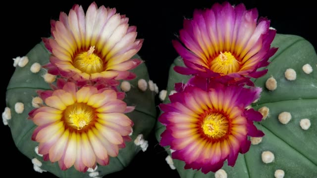 blooming flowers timelapse - sand dollar cactus - four objects stock videos & royalty-free footage