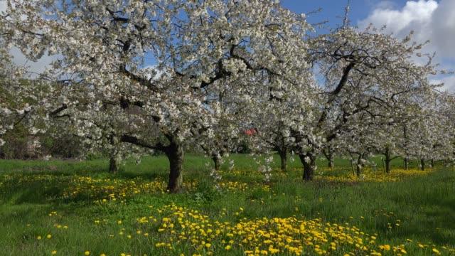 blooming fruit trees near luehe, altes land region, lower saxony, germany, europe - albero da frutto video stock e b–roll