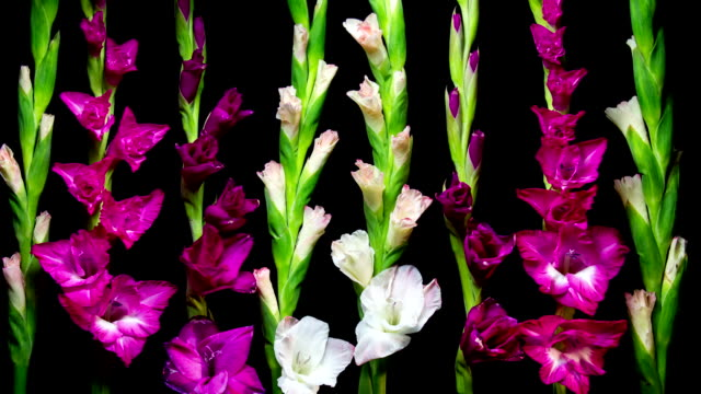 blooming gladiolus - gladiolus stock videos & royalty-free footage