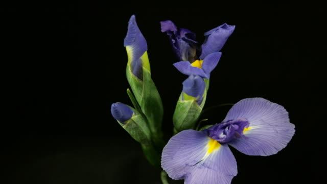 blooming iris time lapse - iris plant stock videos & royalty-free footage
