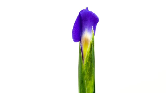 blooming iris time lapse - single flower stock videos and b-roll footage