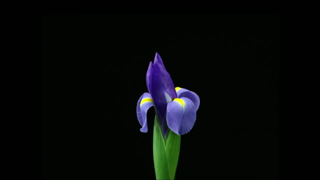 blooming iris - iris plant stock videos and b-roll footage