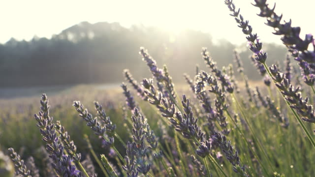 blooming lavender - agricultural field stock videos & royalty-free footage