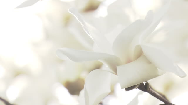 vídeos de stock, filmes e b-roll de cu, blooming lilytree, saitama, japan - margem de estrada