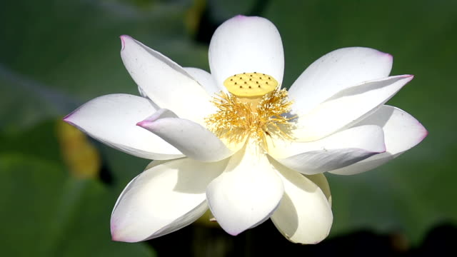 blooming lotus flower in the pond hd video - lotus water lily stock videos and b-roll footage