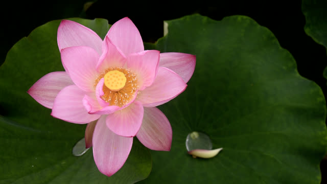 blooming lotus flower in the pond - full hd format stock videos & royalty-free footage