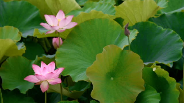 Lotus flower pods videos and b roll footage getty images blooming lotus flowers in the pond hd video mightylinksfo