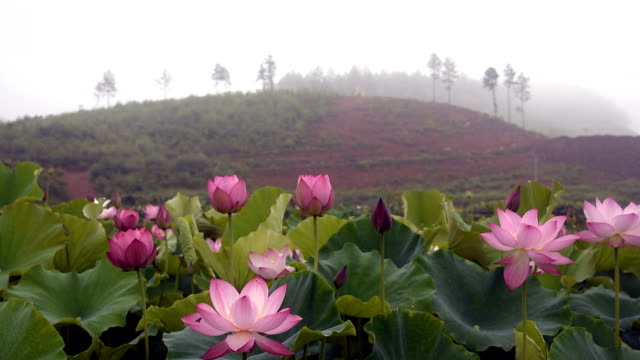 80 Top Lotus Water Lily Video Clips And Footage Getty Images