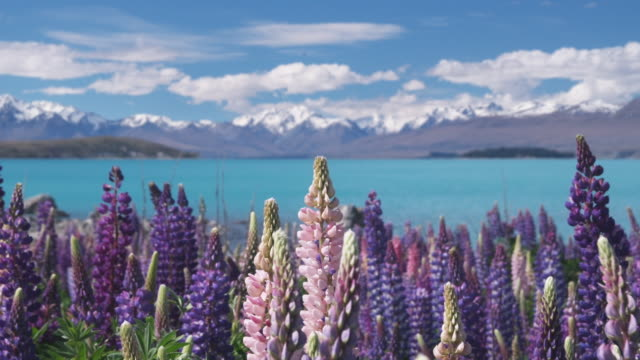 t/l, cu, selective focus, blooming lupines with lake tekapo and mountains on background, south island, new zealand - remote location stock-videos und b-roll-filmmaterial