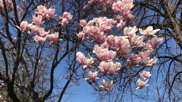 a blooming magnolia in early spring on march 19 2020 in chambery france - flower head stock videos & royalty-free footage