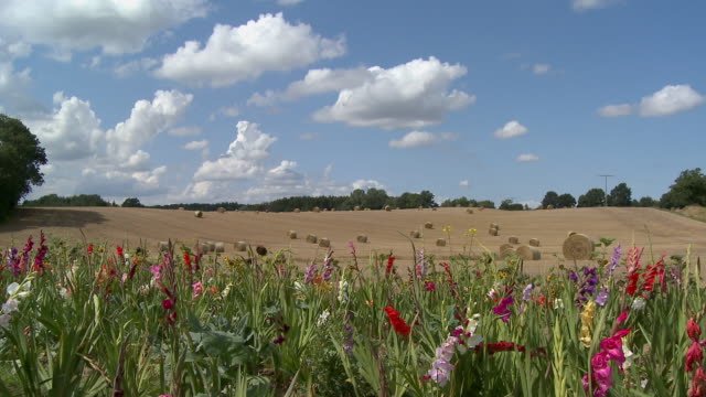 ms, blooming meadow, hay bales in field in background, schleswig holstein, germany - gladiolus stock-videos und b-roll-filmmaterial