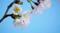 SAKURA blooming moments. (Japanese cherry blossom)