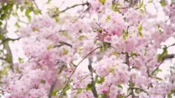 Blooming of weeping cherry tree (Prunus pendula)