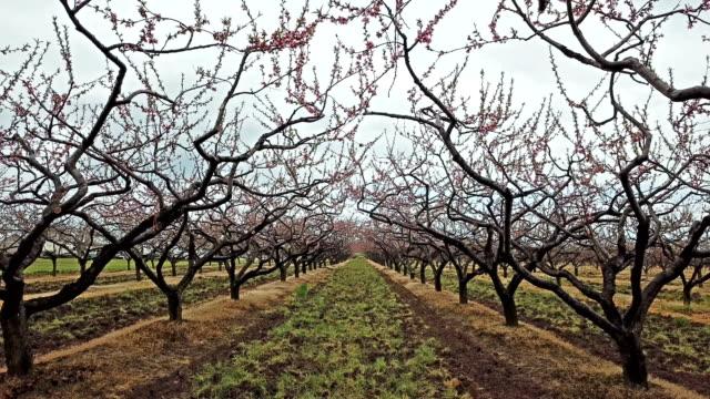 vídeos y material grabado en eventos de stock de huerto en flor en primavera en el área de las cataratas del niágara, ontario, canadá - pera