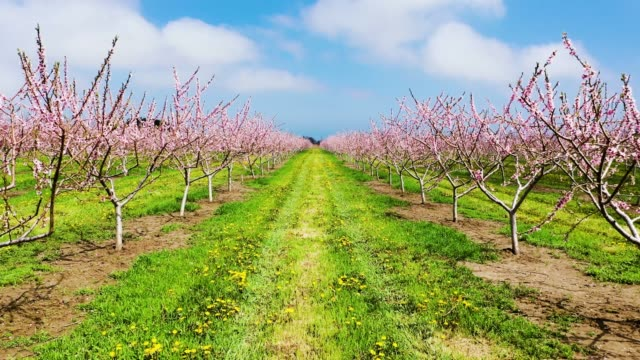 blooming orchard in spring at niagara falls area, ontario, canada - orchard stock videos & royalty-free footage
